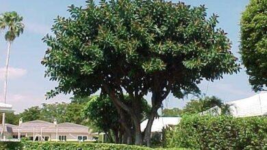 Photo of Ficus rubiginosa