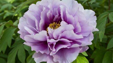 Photo of Peony flower