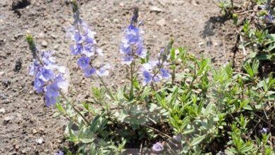 Photo of Veronica flowers