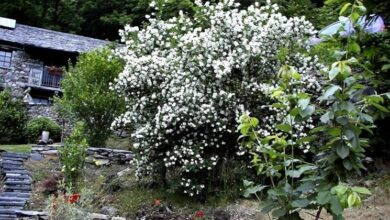 Photo of Sicilian jasmine