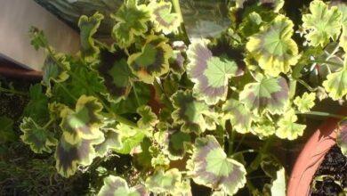 Photo of Zonal geraniums