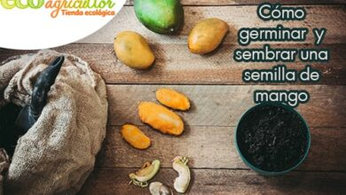 Photo of How to germinate and sow a mango seed