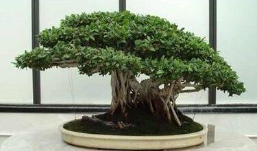 Photo of Ginseng ficus bonsai