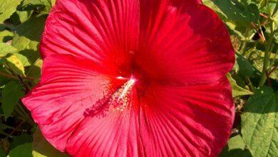 Photo of Hibiscus moschetos