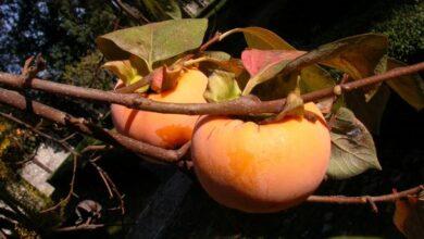 Photo of Vanilla persimmon