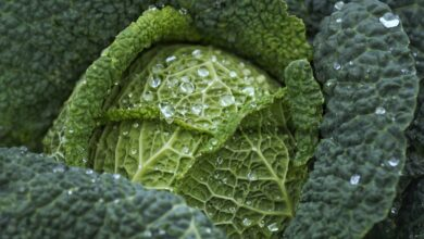 Photo of Sow Kale: [Substrate, Care, Irrigation, Pests and Diseases]