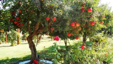 Photo of Pruning pomegranate