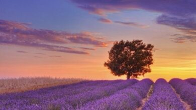 Photo of Lavender meaning