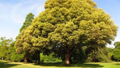 Photo of Holm oak