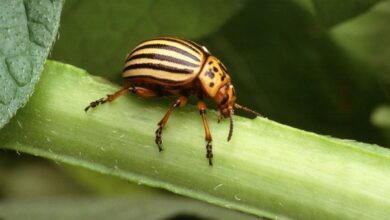 Photo of Eliminate the Potato Beetle   Ecological Remedies and Treatment