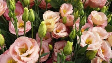 Photo of Lisianthus meaning