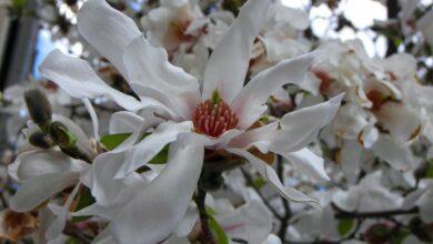 Photo of Starry magnolia