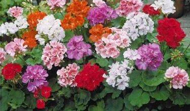 Photo of Diseases of geraniums