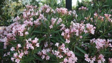 Photo of Oleander Diseases