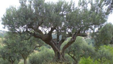 Photo of Olive tree diseases