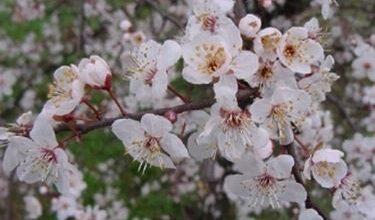 Photo of Mandorlo – Prunus amygdalus