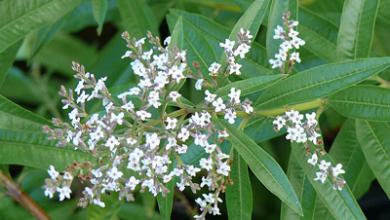 Photo of Lemon verbena, properties and uses in home remedies.