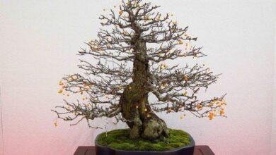 Photo of Apple tree bonsai