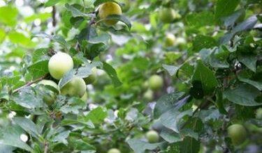 Photo of Myrobalan and similar – Prunus cerasifera