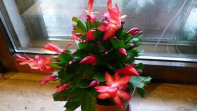 Photo of Natalina plant
