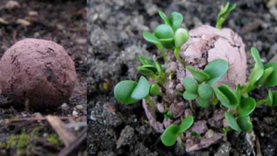 Photo of How to make seed bombs (Nendo dango)