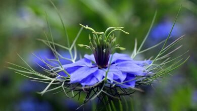 Photo of Nigella Sativa: [Sowing, Care, Watering, Pests and Characteristics]