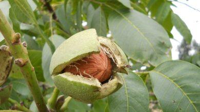 Photo of Walnut – Juglans regia