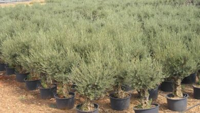 Photo of Potted olive tree