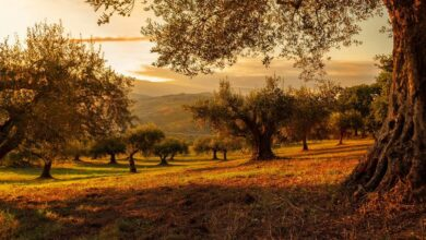 Photo of Fertilize an Olive Tree: What Components Do You Need? How to do it?