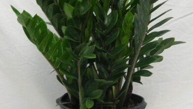 Photo of Padre Pio plant