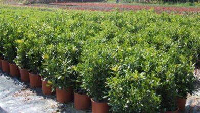 Photo of Pitosforo plant