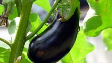 Photo of Eggplant Pests and Diseases: Complete Guide with Photos