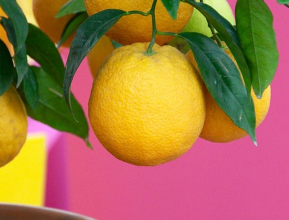 Photo of How to grow a lemon tree in a pot and maintenance tasks