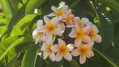 Photo of Pomelia plant