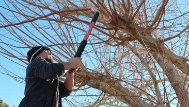 Photo of Mulberry pruning