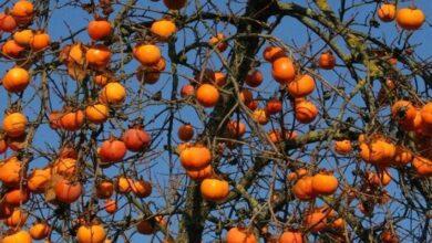 Photo of Khaki pruning