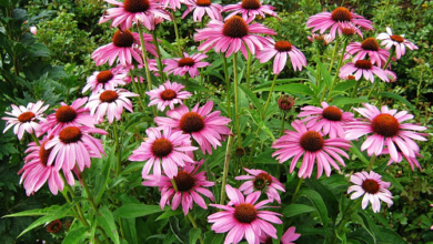 Photo of Echinacea, properties and benefits of this medicinal plant