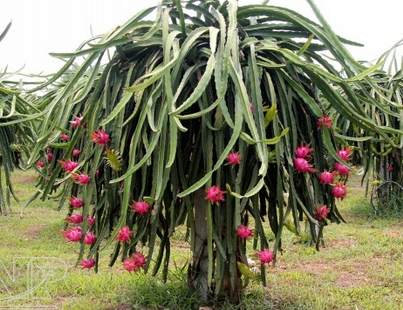 dragon fruit properties