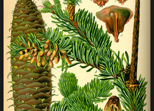 Photo of White Fir: Uses and Medicinal Properties