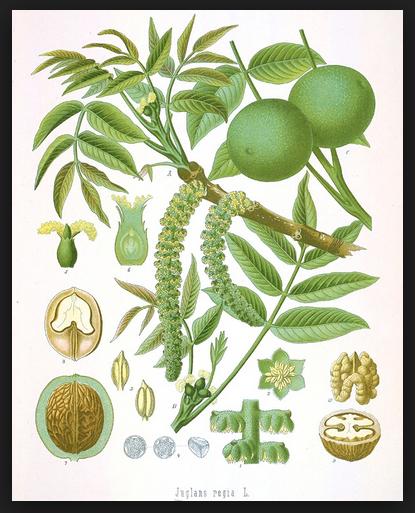 walnut medicinal properties