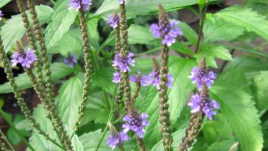 Photo of Verbena, medicinal properties and benefits of this plant