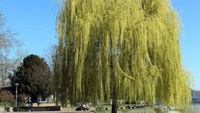 Photo of Pests and Diseases of Weeping Willow: [Detection, Causes and Solutions]