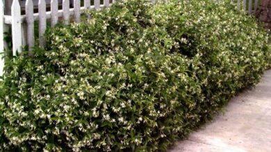 Photo of Jasmine hedge