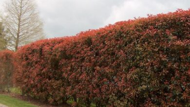 Photo of Red hedge