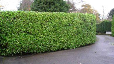 Photo of Border hedges