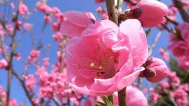 Photo of Peach blossom meaning