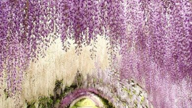 Photo of Wisteria meaning