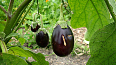 Photo of Eggplant varieties that are most cultivated in the world