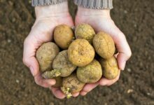 Photo of Tips for Storing Seed Potatoes for Next Year's Planting