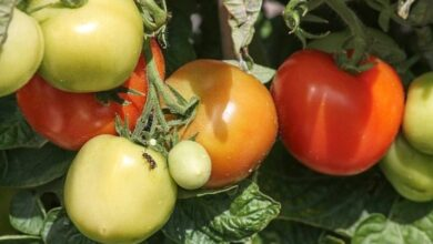 Photo of Tomato Pests and Diseases: Complete Guide with Photos and Tips